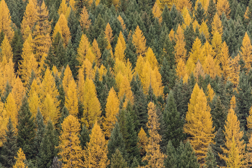 Why Do Larch Needles Turn Yellow And Fall Off?