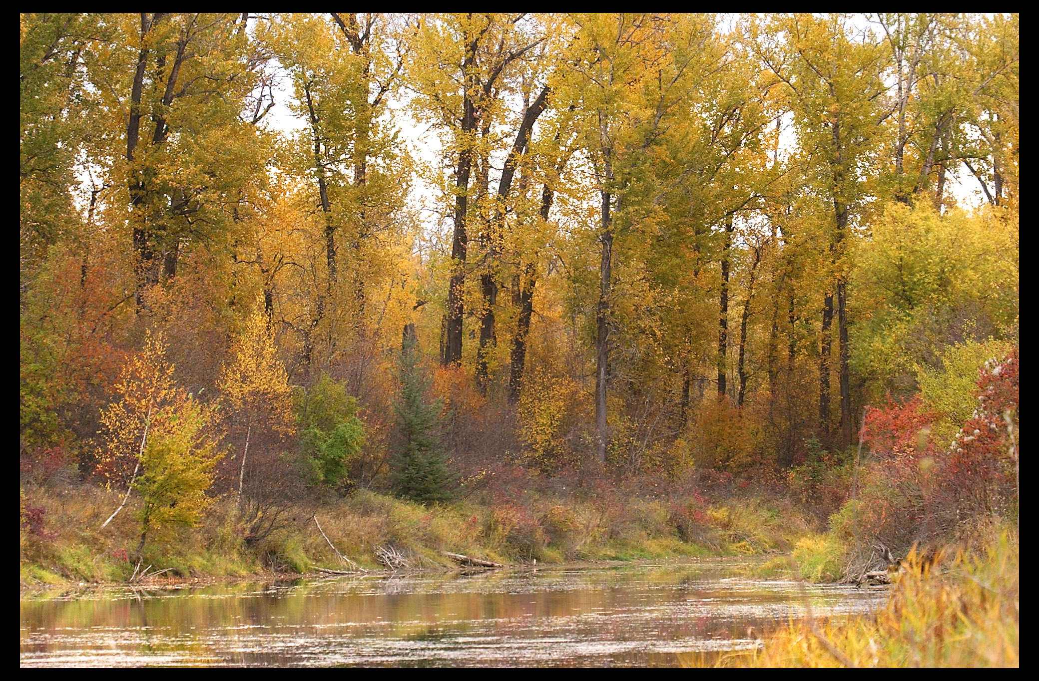 Cotton Wood Trees Along A River In The Fall.