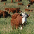 On-site Guide for Livestock Operators